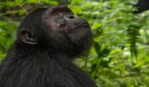 """כך הגיבה השימפנזה שסירבה לאכול כשפגשה """"ידיד"""""""
