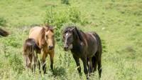 הסוסים חוגגים בעין נמרוד, מול נופי החרמון
