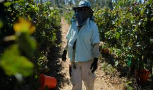 צפו: בציר הענבים בקיבוץ צובה