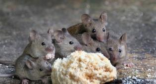 אילוסטרציה - שחררה עכברים מול ניצולות שואה מפוחדות
