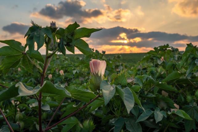 ורד צומח בתימורים שבדרום