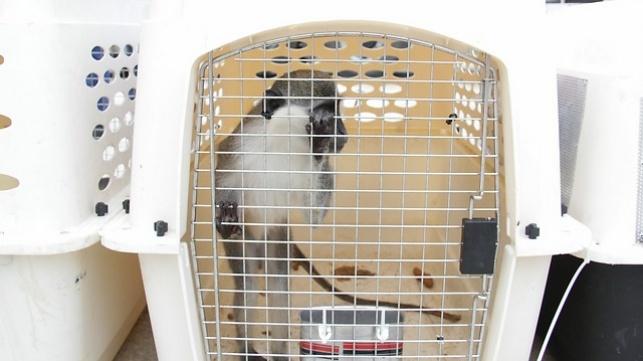קופיף שהועבר לישראל מגן החיות בעזה. בקרוב בקלקיליה?