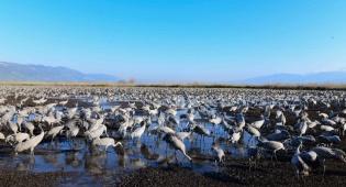 תיעוד מרהיב: נדידת הציפורים בעמק החולה