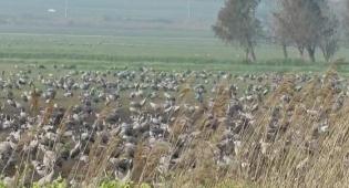 הימים מתארכים: אלפי עגורים במסע נדידה