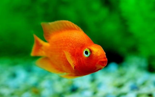 מרוכז יותר. דג זהב