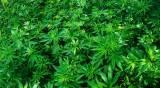 שדה קנביס - אריאל: גידול קנביס רפואי יוכר כענף חקלאי