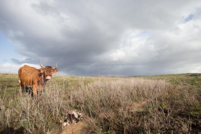 פרה בקיבוץ מרום גולן
