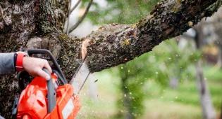 האם מותר כריתת עץ פרי הגורם להאפלה?