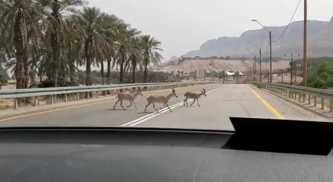 השפעות הקורונה: עדר יעלים חוצה כביש
