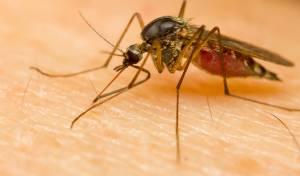 יתושים אורבים לעקיצה גם בחורף. אילוסטרציה