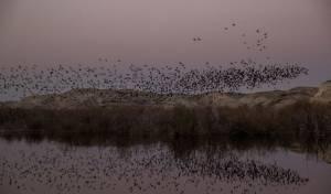 צפו בציפורי הקאק מתכנסות בבקעת הירדן