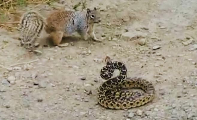 ויראלי: הסנאי שהחליט לטרוף את הנחש הענק