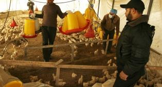 לול עופות. אילוסטרציה - ישראל תחת מתקפת סלמונלה? כל האמת