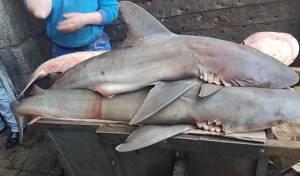 השוטרים הופתעו: כרישים בעיר העתיקה