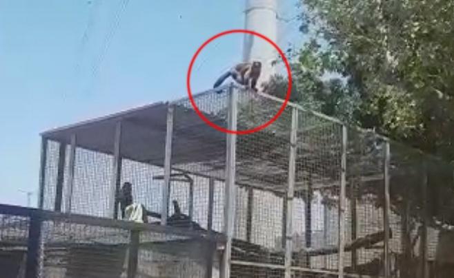 בני ברק: הקופים ברחו מפינת החי ונתפסו