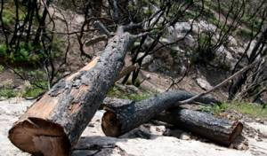 עצים שנפגעו באסון הכרמל