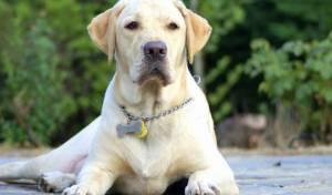 יבניאל: כלב לברדור תקף ילדה, מצבה בינוני