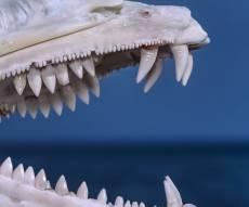"""דג הברקודה - הדג הטורף: """"זאב המים"""" נשך אישה באילת"""