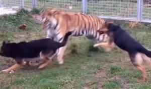 צפו בווידאו: וגר נמר עם כלב, גרסת המציאות