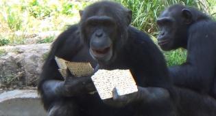 הקופים בספארי באכילת מצות מכונה • צפו