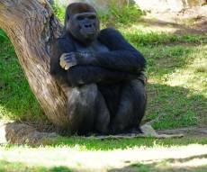 אחת הגורילות בגן החיות בסן דייגו