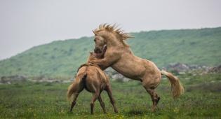 עדר סוסים משתעשע ברמת הגולן • גלריה