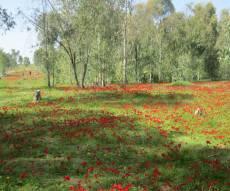 """""""צבע אדום"""" - מרבדי כלניות בנגב  • גלריה"""