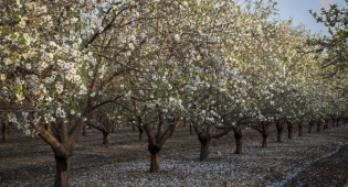 השקדיה פורחת בלטרון - התחזית: צפויה עלייה קלה בטמפרטורות