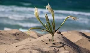 חבצלת בחוף אשדוד