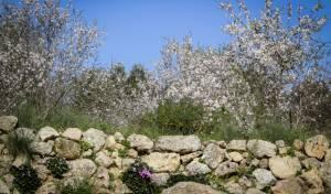 האביב עוד לא ממש פה - הפריחה כבר כן