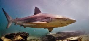 כריש עפרורי בנחל חדרה