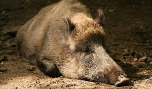 """מכת חזירים בעיר החרדית: """"סכנת חיים"""""""