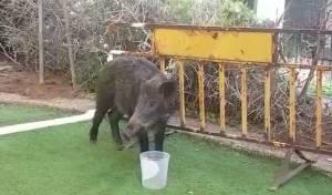 חזירי בר הפתיעו את תושבי בת ים • צפו