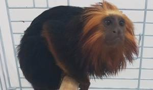 הקוף שנגנב