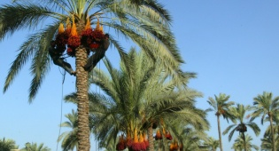 עצי פרי לנוי