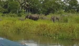 לויאליות, גרסת הפילים: הגנו מפני תנין תוקפני