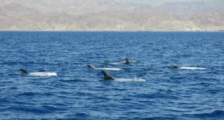צפו: ארבעים דולפיני 'גרמפוס' במפרץ אילת
