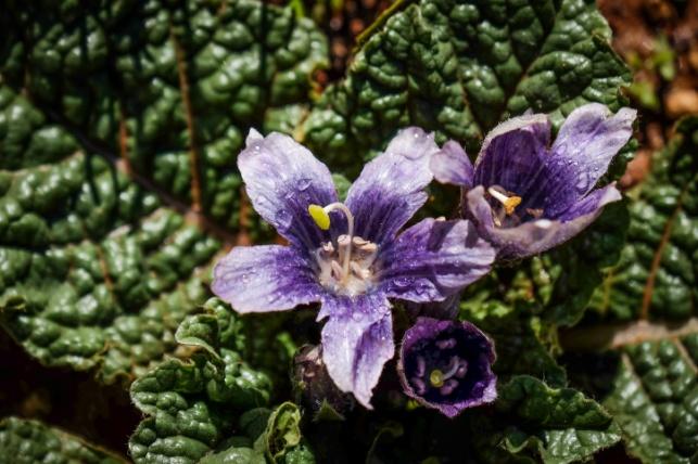 פרח הדודא, אפרת, גוש עציון