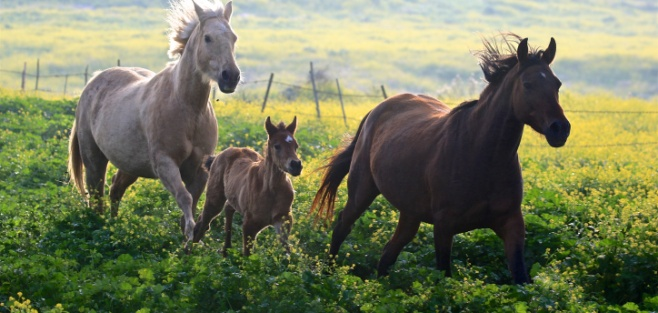 סוסים דוהרים בחוות גמלא שבצפון • צפו