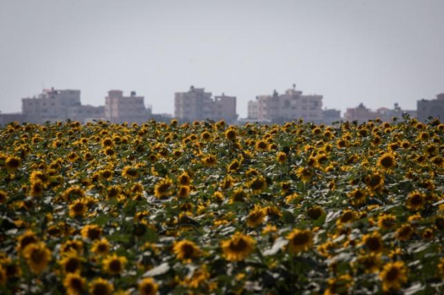 שדה חמניות בגבול ישראל ועזה