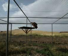 צפו: הנשר המורעל שוחרר חזרה לטבע