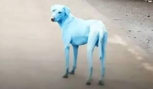 תופעה בהודו: כלבים הופכים לכחולים