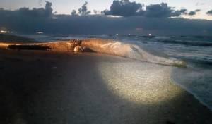 הערב נפלט לוויתן מצוי בדרום סמוך לניצנים