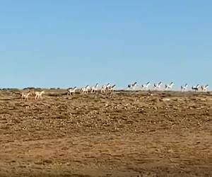 כמו אפריקה: עשרות פראים מתרוצצים בטבע