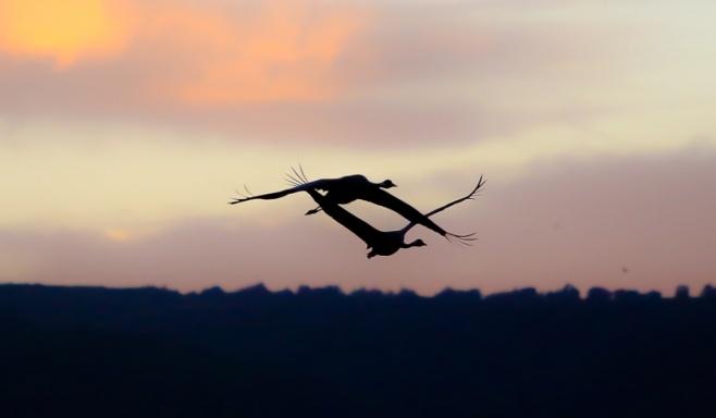 מרהיב: אלפי עגורים בעמק החולה