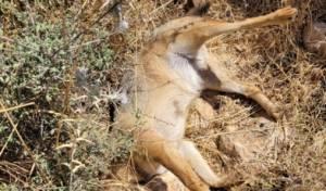 חשד להרעלה אסורה של חיות בגליל העליון