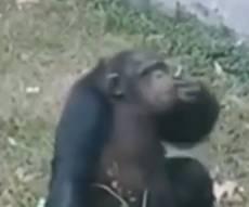 צפו: שימפנזה מעשנת סיגריה בגן החיות
