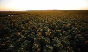 שדה חמניות, אתמול