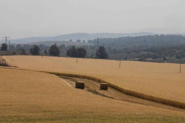 שדה חיטה ליד לטרון