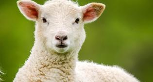 טלה. אילוסטרציה - חשבון נפש: הגיע הזמן להפסיק לאכול בשר?